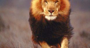 صور اسد مفترس , اخطر انواع الحيوانات