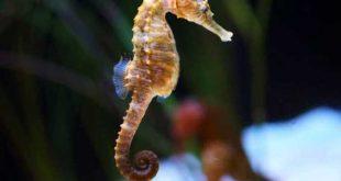 صورة صور حصان البحر , اسطورة حصان البحر