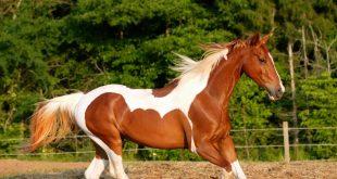 صورة صور اجمل حصان , صور رائعة للخيول العربية 2846 12 310x165
