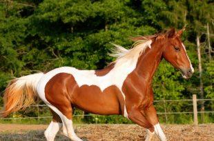 صورة صور اجمل حصان , صور رائعة للخيول العربية
