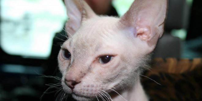 صورة قطط بدون شعر , ماذا تعرف عن القطط بدون شعر