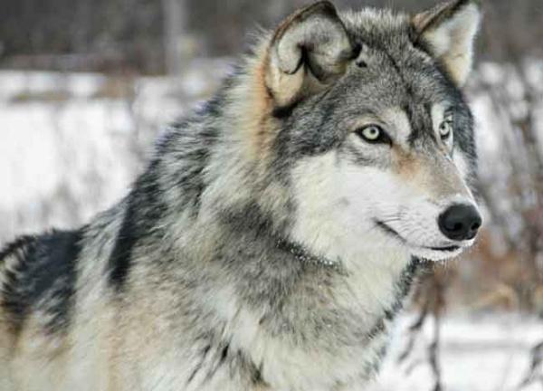 صورة الذئاب في المنام , حلمت بذئب فى بيتى