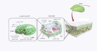 صورة الكلوروفيل في النبات , اليخضور وعملية البناء الضوئي