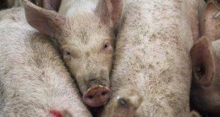 اسباب تحريم لحم الخنزير , لماذا رحم المولي اكل الخنزير
