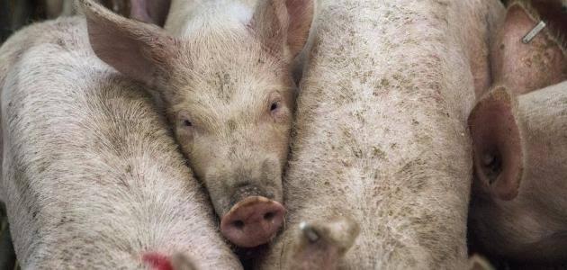 صورة اسباب تحريم لحم الخنزير , لماذا رحم المولي اكل الخنزير