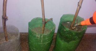 صورة كيف تزرع العنب , زراعة بذور عنب في اطباق الزرع