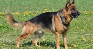 صورة كيفية تشريس الكلاب الجبانة , تشجيع الكلاب وتدريبها على الشراسة و القوة