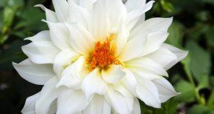 صورة ورد ابيض طبيعي , ابتهج ببياض الورد و روعته من الطبيعة