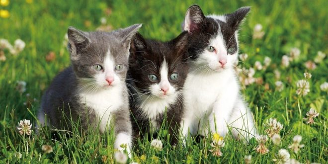 صورة قطط في المنام,المقصود من رؤية القطة في المنام