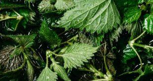 صورة فوائد عشبة القراص , ما هى فوائد نبات القراص