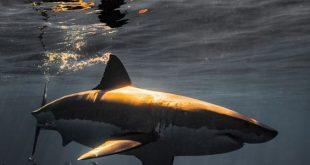 صورة تفسير سمك القرش في المنام , رؤية سمك القرش في الرؤى و الاحلام