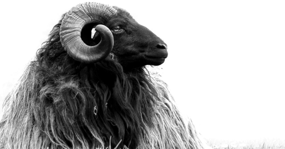 صورة تفسير حلم خرفان , رأيت خروف فى منامى 3246 2