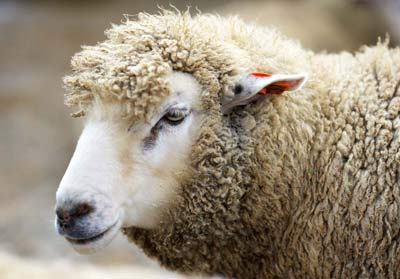 صورة تفسير حلم خرفان , رأيت خروف فى منامى