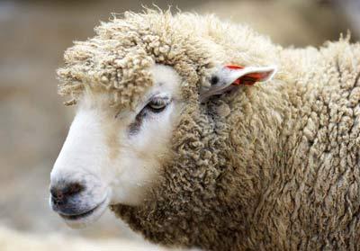 صورة تفسير حلم خرفان , رأيت خروف فى منامى 3246