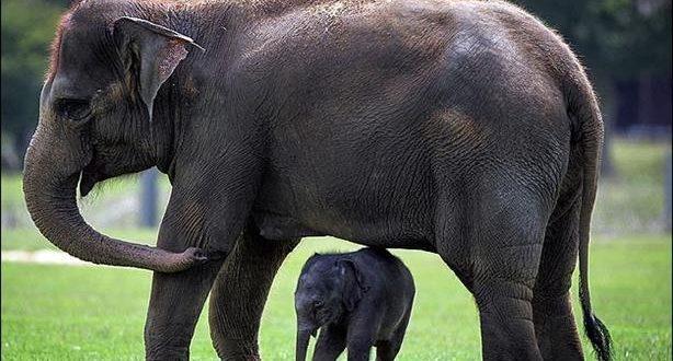 صورة ما هو اسم صغير الفيل , الفيل كما لو لم تعرفه من قبل