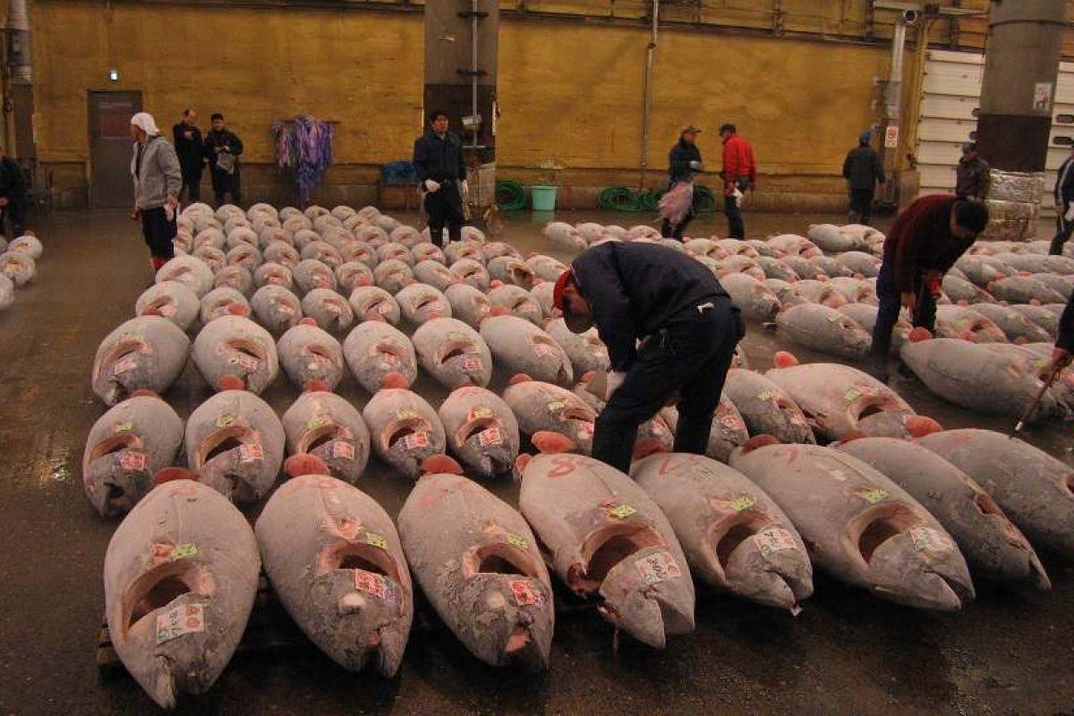 صورة اغلى سمكة في العالم , لن تصدق سعر هذه السمكة 3507 2