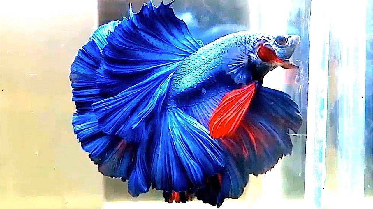 صورة اغلى سمكة في العالم , لن تصدق سعر هذه السمكة 3507 5