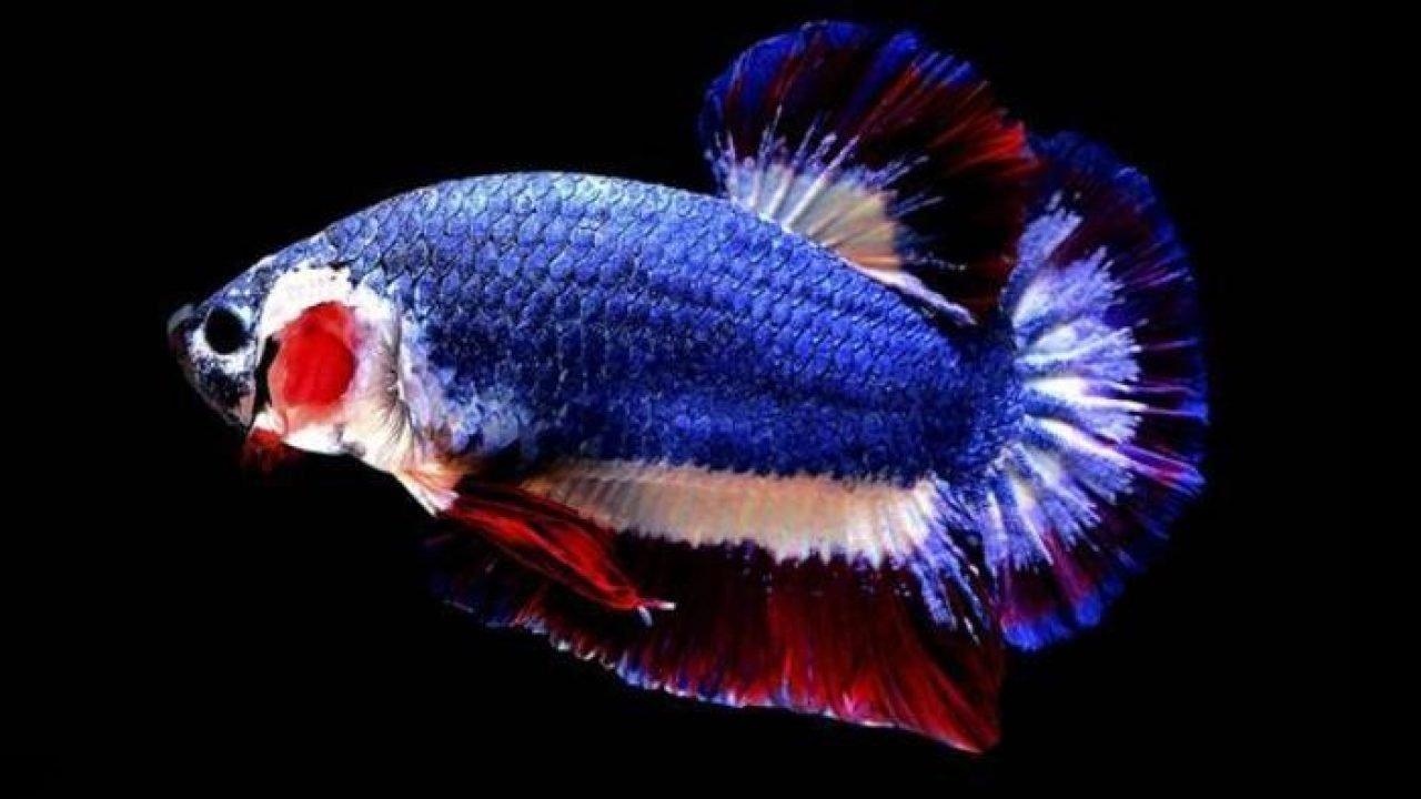 صورة اغلى سمكة في العالم , لن تصدق سعر هذه السمكة 3507 9