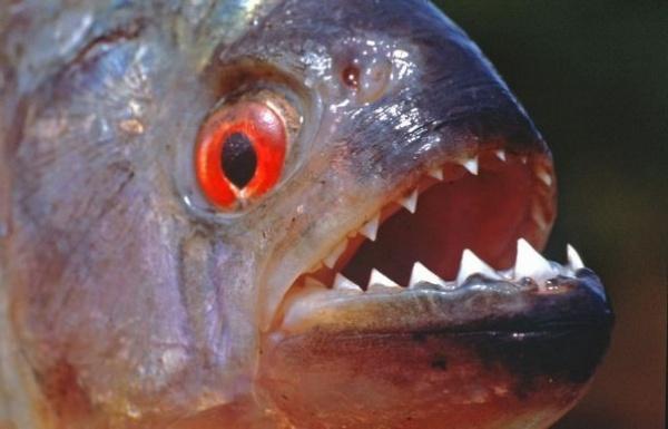 صورة اغلى سمكة في العالم , لن تصدق سعر هذه السمكة 3507